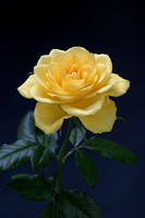 Yellow Rose Vertical 1